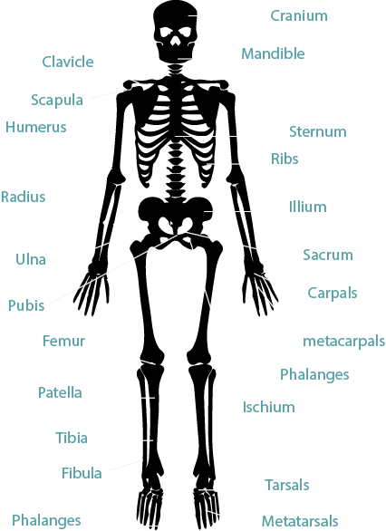 skeletal muscle physiology exercise 16b Skeletal muscle and cardiovascular adaptations to exercise  physiological  adaptations to aerobic conditioning, however, have not been well.