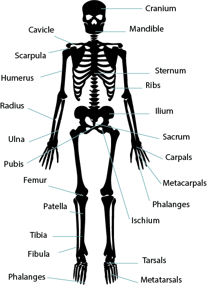 Unit 4  Musculoskeletal system